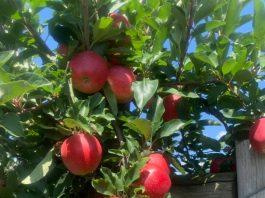 Apple Days Harvest Festivals at Terhune Orchards
